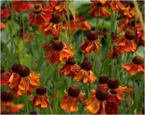 Helenium Moorheim Beauty - Exbury Garden Hampshire