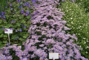 "Geranium ""Jolly Bee"", Aster Lutetia and Erygeron Karvinskianus"