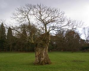 Pollarded veteran oak